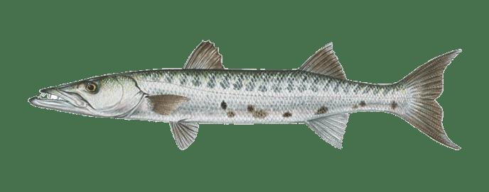 Miami-barracuda-fishing