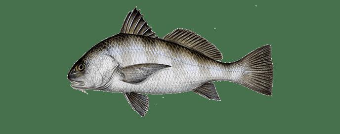 Miami-black-drum-fishing