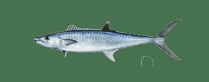 Miami kingfish mackerel fishing