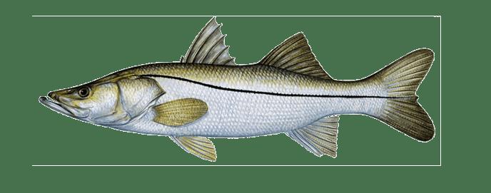 Miami snook fishing
