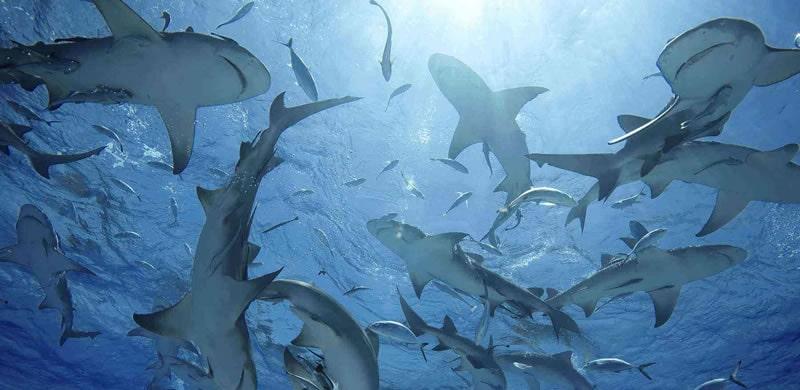 Lemon shark fishing in Florida