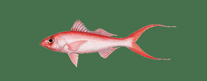 Miami-queen-snapper-fishing