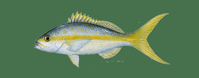 Miami-yellow-tail-snapper-fishing
