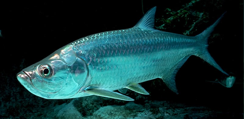 Tarpon fishing in Florida