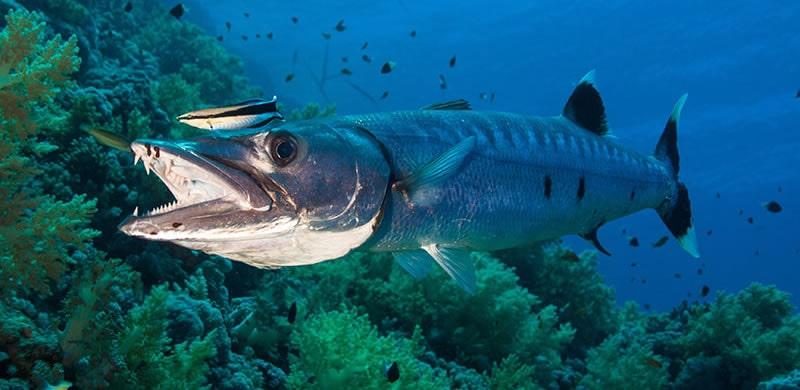 barracuda fishing in Florida