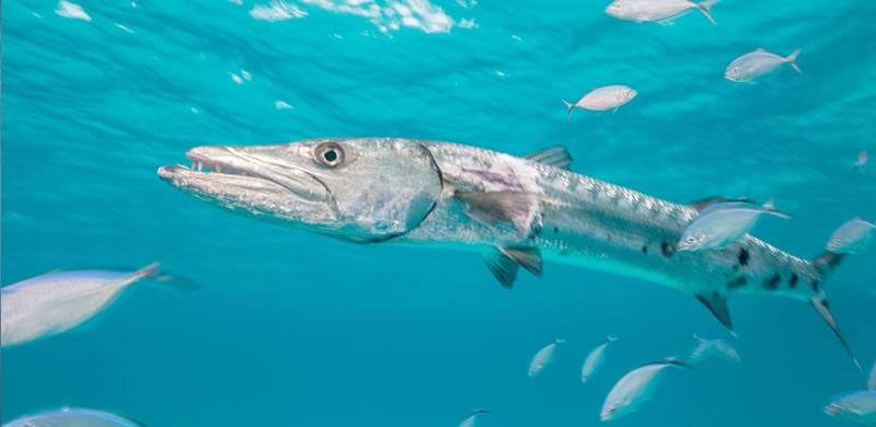 barracuda fishing in Miami