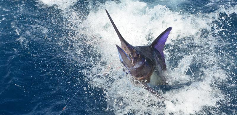 blue marlin fishing in Florida