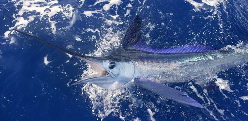 blue marlin fishing in Miami