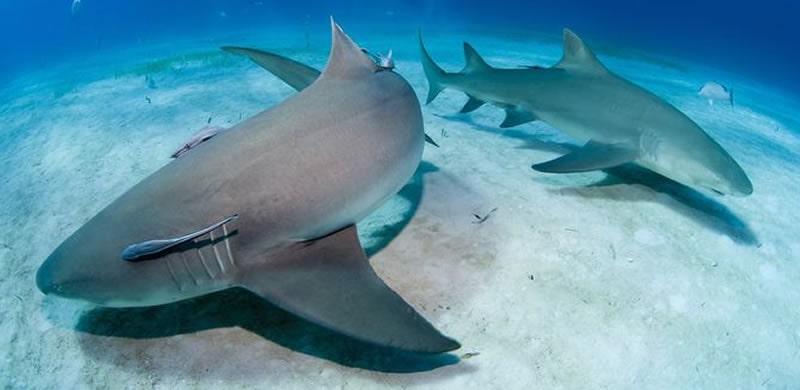 lemon-shark-charters-in-florida