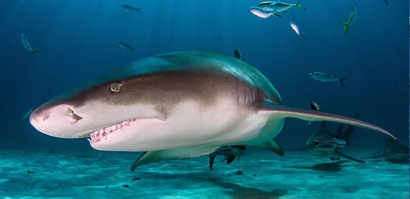 lemon shark fishing