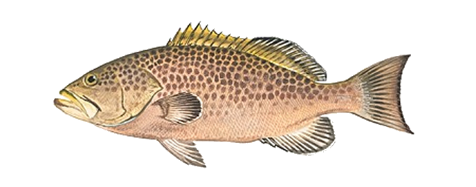 Groupers - FishinginMIami.com Yellowmouth Grouper Photos